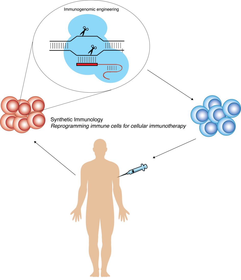 Engineering immune cells by precise genome editing for applications in biotechnology and cellular immunotherapy.