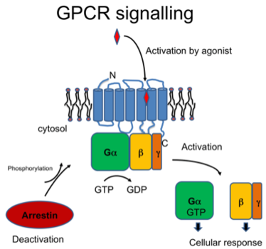Simplified scheme of GPCR signalling: Light or ligand binding triggers a conformational change of the receptor that induces G protein activation.